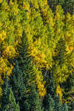 Colorado aspen autumn fall colors. Aspen trees in colorado in full autumn gold and yellow - colorado forest on mountain side in autumn - nature landscape stock image