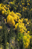 Colorado aspen autumn fall colors Stock Photos