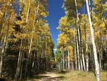 Colorado Aspen - caduta Fotografie Stock