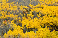 Colorado Aspen Forest in Fall #4 Royalty Free Stock Image