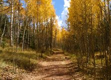Colorado Aspen Stock Photos