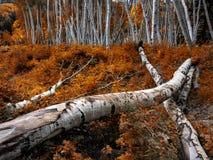 Colorado Aspen - Late Autumn Stock Photo