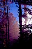 Colorado Aspen. Aspen with light Stock Photos