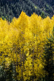 Colorado Aspen Trees Stock Photos