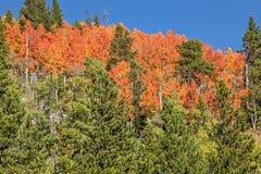 Colorado Aspen Trees na queda Fotos de Stock