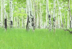 Colorado Aspen Trees Stock Photography