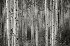 Colorado Aspens Stock Photography