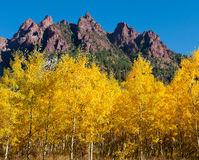 Colorado Aspens. Aspens in Colorado in full fall color below some beautiful red rock formations Stock Image
