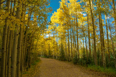 Colorado Aspens Stock Afbeelding