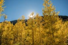 Colorado Aspens Stock Fotografie