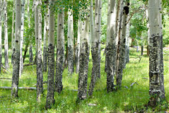 Colorado Aspens Stock Photo