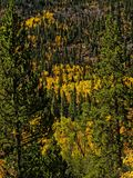 Colorado Aspens in the Fall Royalty Free Stock Images