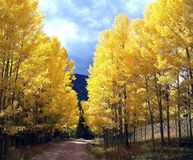 Colorado Aspens Form a Golden Gate. These quaking golden aspen trees shroud both es of this country mountain road, seemingly creating a golden gate -- an entry Stock Photography
