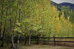 Aspens Along a Wooden Fence stock photography