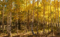 Colorado Aspens in the late stages of fall Royalty Free Stock Photos