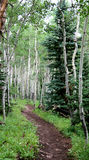 Colorado Aspens with a walking path. Trunks of aspen trees stock images