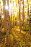 Colorado Autumn Forest Stock Photography