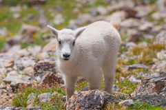 Colorado Baby Mountain Goat Royalty Free Stock Photos