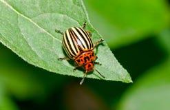 Colorado Beetle Stock Image