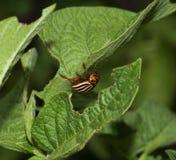 Colorado Beetle Royalty Free Stock Photos