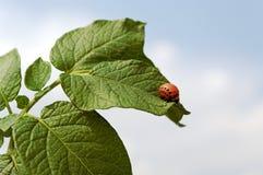 Colorado beetle. Royalty Free Stock Photos