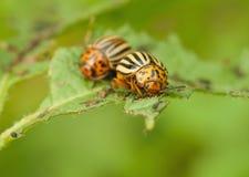 Colorado beetle Stock Photos