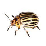 The Colorado beetle. Colorado beetle photographed on a white background royalty free stock photos