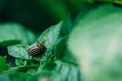 Colorado beetle parasite close-up stock photography
