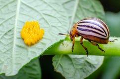 Colorado beetle crawls near yellow eggs on a sheet of potatoes.  royalty free stock image