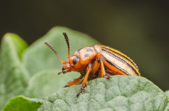 Colorado beetle crawls over potato leaves.  royalty free stock photography