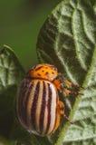 Colorado beetle crawls over potato leaves.  royalty free stock image