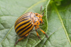 Colorado beetle crawls over potato leaves.  stock images