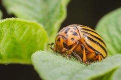Colorado beetle crawls over potato leaves.  Royalty Free Stock Photos