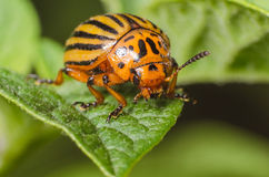 Colorado beetle crawls over potato leaves.  royalty free stock images