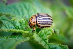The Colorado Beetle destroys the potato harvest. Fighting plant. Pests stock images