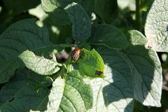 Colorado beetle eating green potato leaves at the sunny day royalty free stock photos