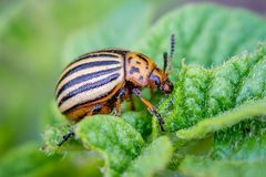 Colorado beetle eating the leaves of a young potato on an agricultural plantation_. Colorado beetle eating the leaves of a young potato on an agricultural stock photography