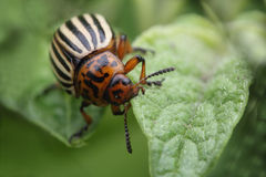 Colorado beetle eating potato leaf macro photo Stock Photos