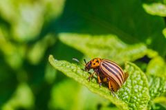 Colorado beetle eats green potato leaf. Garden insect pest. Natural green gardening background with selective focus royalty free stock photos