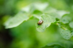Colorado beetle eats green potato leaves stock photo