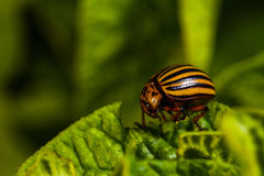 Colorado beetle eats a potato leaves Royalty Free Stock Image