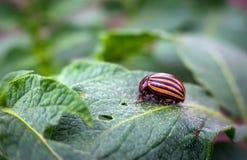Colorado beetle eats a potato leaves young. stock image