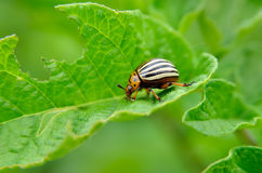 Colorado beetle eats a potato leaves young. Pests destroy a crop in the field. Parasites in wildlife and agriculture.  Royalty Free Stock Images