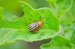 Colorado beetle eats a potato leaves young. Pests destroy a crop in the field. Parasites in wildlife and agriculture.  Stock Image