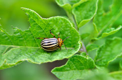 Colorado beetle eats a potato leaves young. Pests destroy a crop in the field. Stock Photography
