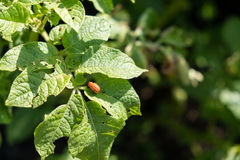 Colorado beetle eats potato leaves young. Pests destroy a crop in field. Parasites in wildlife and agriculture. Royalty Free Stock Photo