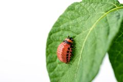 Young Colorado beetle eats potato leaves - isolated on white background. Colorado beetle eats a potato leaves young. Pests destroy a crop in the field. Parasites royalty free stock photo