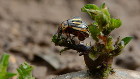 Colorado beetle on fresh potato sprout with rain drops Stock Images