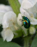 Colorado beetle. On between grass and white flower leaves royalty free stock photo