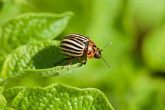Colorado beetle intends to fly from potato leaf Stock Photo